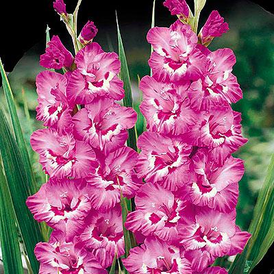 Knölar till gladiolus