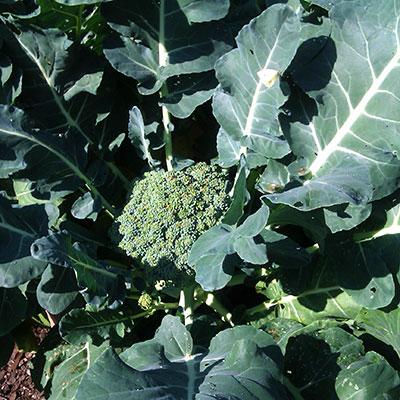Frö till olika typer av kålväxter