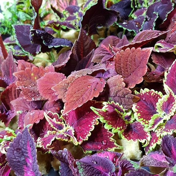 Palettbladssticklingar på tillväxt