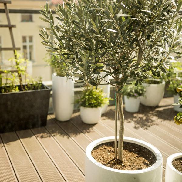 Olivträd på balkongen