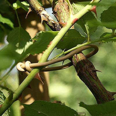 Rep och band för uppbindning av växter