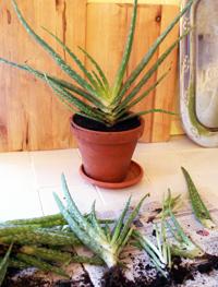 Föröka krukväxter med delning