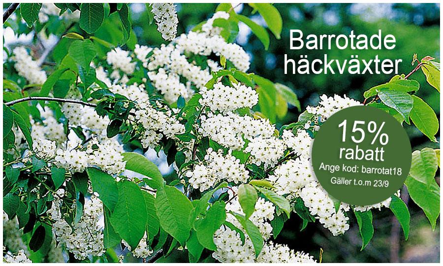 Erbjudande - 15% på barrotade häckväxter