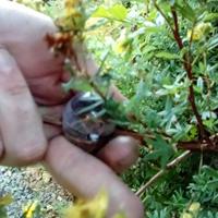 Globe stickling för rotning av buskar