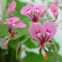 P. papilionaceum-vildpelargon, vildart, vildpelargonfrö, frö pelargonfrö, pelargonium
