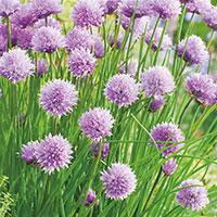 Gräslök, Allium schoenoprasum
