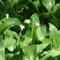 Blomknoppar på ramslök