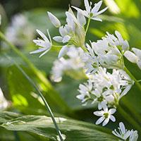 Blommor på ramslök