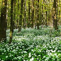 Ramslök marktäckande i skog