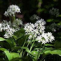 Ramslök, Allium ursinum 'Gismo'