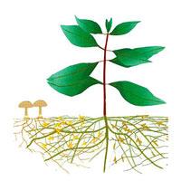 MycorDip - aktivt jordförbättringsmedel 5x30 gram-mycorrhiza mycordip