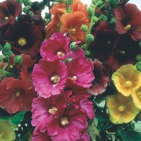 Stockros HOLLYHOCK Giant Single Mixed-Frö till Stockros