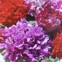 Opiumvallmo   POPPY Paeony Flowered Mixed-Frö till Opiumvallmo