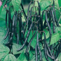 Brytböna DWARF BEAN Purple Teepee-Frö till Brytböna