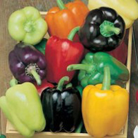 Paprika PEPPER (Sweet) Colour Spectrum, Frö till Paprika