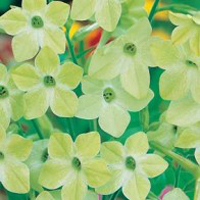 Blomstertobak NICOTIANA Lime Green, Frö till Blomstertobak
