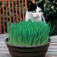 Kattgräs CAT GRASS Avena Sativa-Frö till Kattgräs