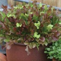 Sallad LETTUCE Red & Green Salad Bowl Mixed-Frö till Sallad