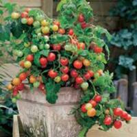Tomat TOMATO Maskotka-Frö till Tomat