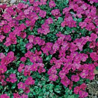 Aubretia AUBRIETIA Red King-Frö till Aubretia Red King