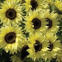 Solros SUNFLOWER Garden Statement-Frö till Solros