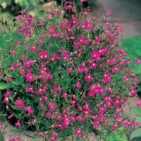 Hänglobelia LOBELIA (Trailing) Red Cascade-Frö till Hänglobelia