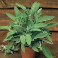 Salvia SAGE-Frö till Salvia