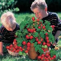 Tomat TOMATO Minibel-Frö till Tomat