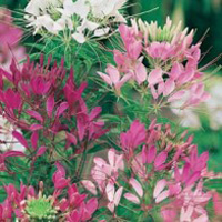 Paradisblomster CLEOME Colour Fountain Mixed-Frö till Paradisblomster
