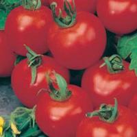 Tomat TOMATO Shirley F1-Frö till Tomat