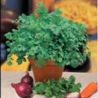 Koriander CORIANDER Cilantro for Leaf-Frö till Koriander
