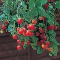Tomat TOMATO Tumbling Tom Red-Frö till Tomat