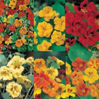 Indiankrasse NASTURTIUM (Collection Pack), Frö till Indiankrasse