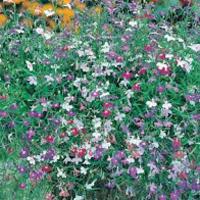 Hänglobelia LOBELIA (Trailing) Colour Cascade Mixed-Frö till Hänglobelia