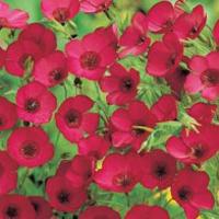 Blomsterlin FLAX Scarlet - Linum-Frö till Blomsterlin
