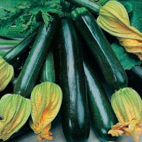 Squash ORG COURGETTE Black Beauty, Frö till Squash