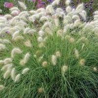 Svanfjädergräs GRASS Pennisetum Feathertop Grass-Frö till Svanfjädergräs