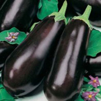 Äggplanta AUBERGINE Early Long Purple 2-Frö till Äggplanta