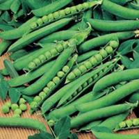 Ärta, PEA Hurst Green Shaft, Frö till Ärta