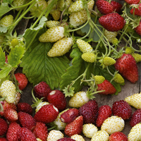 Smultron STRAWBERRY (Alpine) Red & Cream#-Frö till Smultron Strawberry Red & Cream