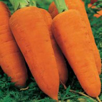 Morot CARROT Chantenay Red Cored 2-Frö till Morot