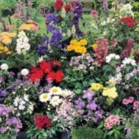 Mix - blandning Perennmix med blomning år 1-Frö till Mix - blandning
