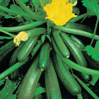 Squash, COURGETTE Tuscany F1