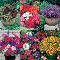 Terrassväxter, PATIO POTS & TUBS COLLECTION-Frö till Terrassväxter