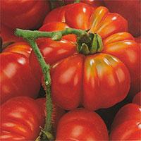 Tomat TOMATO Costoluto fiorentino-Frö till Tomat Costoluto Genovese