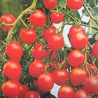 Tomat TOMATO Gardeners Delight-Frö till Tomat Gardeners Delight