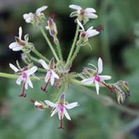P. carnosum-vildpelargon, vildart, vildpelargonfrö, frö pelargonfrö, pelargonium