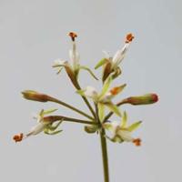 P. parvipetalum - fröer-vildpelargon, vildart, vildpelargonfrö, frö pelargonfrö, pelargonium