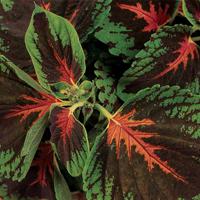 Palettblad - Kong Scarlet-Fröer till krukväxten palettblad kong scarlet