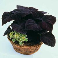 Palettblad - Palisandra-Fröer till krukväxten palettblad palisandra